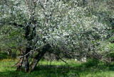 Leaning Apple Tree in Old Bailey Orchard tb0511qtr.jpg