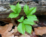 New Ginseng Plant in Appalachian Woods tb0511rer.jpg