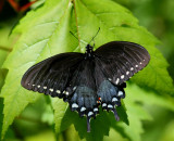 Black Swallowtail Chilling Out on Sunny Maple Leaf tb0511rmr.jpg