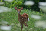 Frontal View Whitetail Fawn thru Wildflowers tb0811for.jpg