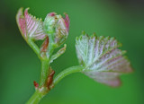 Burgeoning Wild Grape Leaves and Blooms tb0811fgr.jpg