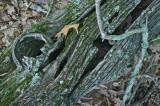 Section of Old Chesnut Log in Mtn Woods tb0811fnx.jpg