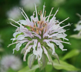 Wild Bergamot Bloom in Appalachians tb0811fwr.jpg