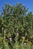 Red Apple Tree and Pasture Thistle Blooming v tb0811hir.jpg