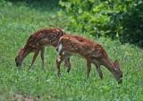Twin Fawns Browsing Grass in Sunny Feild tb0811fmr.jpg