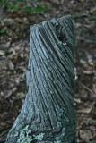 Twisted Chesnut Stump in Appalachians v tb0811fox.jpg