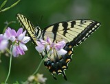 Tiger Swallowtail Butterfly on Flowering Fireweed tb0811hhr.jpg