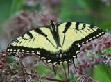 Flawless Tiger Swallowtail Butterfly Browsing Joe-Pye Weed tb0811hsx.jpg