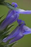 Twin Violet Great Lobelia Blooms v tb0811hgx.jpg