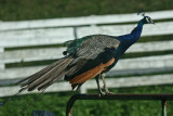 Colorful Peacock Perched on Greenbrier County Farm Fence tb0811kar.jpg