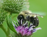 Bumblebee on Violet Burdock Flower tb0811kkr.jpg