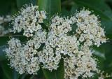 Pale Mtn Laurel Blooming on Black Mtn tb0811kbx.jpg