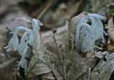 Several Indian Pipes Emerging from WV Woods tb0811kfr.jpg