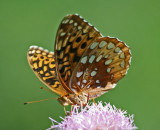 Sunny Fritillary Butterfly Browsing Pink Thistle tb0811kex.jpg