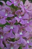 Dynamic Cluster of Purple Fringed Orchid Blooms v tb0811kkx.jpg