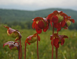 Pitcher Plants Standing Out in Cranberry Glades tb0811kax.jpg