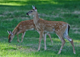 Mid Summer Yearling Whitetails in Mtn Meadow tb0911mfr.jpg