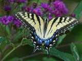 Tiger Swallowtail Browsing Ironweed Flowers tb0911nrr.jpg