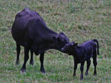 Mother Licking on Her Young Calf in Meadow tb0911par.jpg