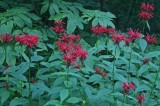 Patch of Bee Balm Evening Williams River tb0711etr.jpg