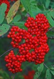 Bright Red Mountain Ash Berry Cluster Black Mtn v tb0911tkr.jpg