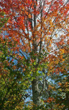 Marvelous Maple Early Autumn in Appalachians tb0911tox.jpg