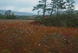 Cotton Grass and Spruce Islands in Overcast Big Glade tb0911tsx.jpg