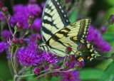Tiger Swallowtail Cruising Ironweed Flowers tb1010slr.jpg