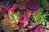 Ray of Sun on Mixed Leaves and Ground Pine tb1010str.jpg