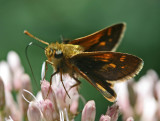 Small Skipper Butterfly Browsing Joe-Pye Weed tb0911pgr.jpg