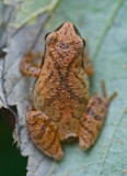 Top View Cresta Crucifer Tree Frog in Clearing v tb1010slr.jpg
