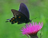 Pipevine Swallowtail Browsing on Pasture Thistle Flower tb0712mcr.jpg