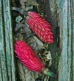 Bright Red Magnolia Seed Pods on Log Recess (Poor Focus - New Image in Gallery) v tb0812mgr.jpg