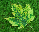 Speckled Maple Leaf on Vibrant Mossy Log tb0812mkr.jpg