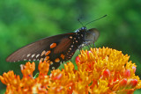 Pipevine Swallowtail Layed Out on Butterfly Weed tb0712kex.jpg