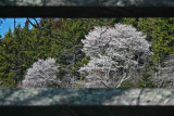 Bright White Service Trees Between Rail Fence tb0412nhr.jpg