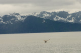 Whale in Kenai Fjords, Alaska