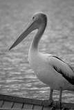 pelican 2 v.jpg