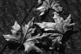 dried leaves 2 h.jpg
