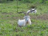 Very horny goat 230.jpg