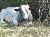 Big Bull at roadside 237.jpg