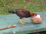 Chicken dining 244.JPG