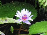 Waterlily (you knew that!) 357a.JPG