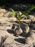 How a coconut tree starts life 028.jpg