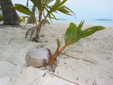 Young coconut starts life. 113.jpg