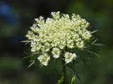 The arrival of Queen Annes Lace is always an early summer event in this region.