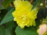 Yellow Begonia - 20011