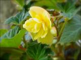 Yellow Begonia2-20011.jpg