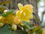 Yellow Begonia3-20011.jpg