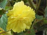 Yellow Begonia4-20011.jpg